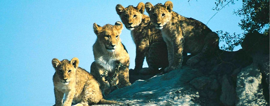 South Africa - Lion Cubs in Kruger National Park