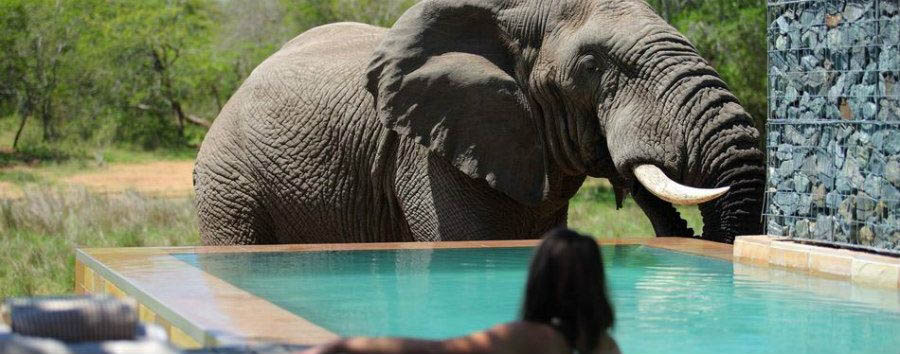 Phinda+Homestead+-+Elephant+at+Swimming+Pool