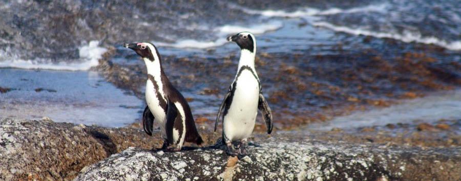 Namibia, dai pinguini ai leoni - Namibia Penguins in Halifax Island