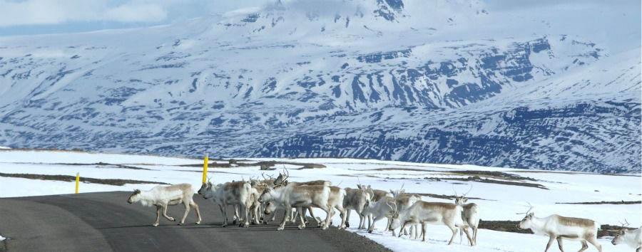 I miti dell'Est - Iceland Reindeers near Borgarfjordur Eystri