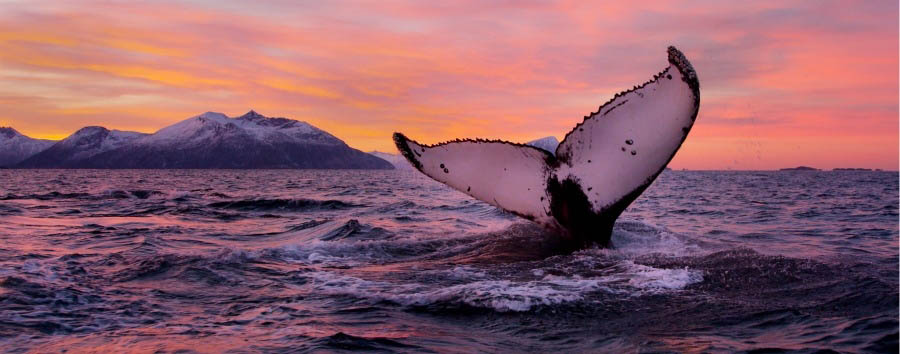 Tromsø à la carte - Norway Kvaløya, Humpback Whale © Asgeir Helgestad/Artic Light AS/VisitNorway.com