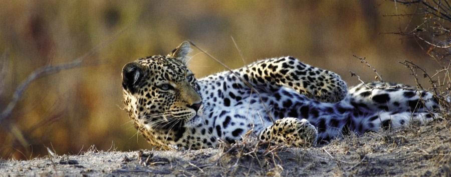 Simply South Africa - South Africa Leopard in The Balule Game Reserve
