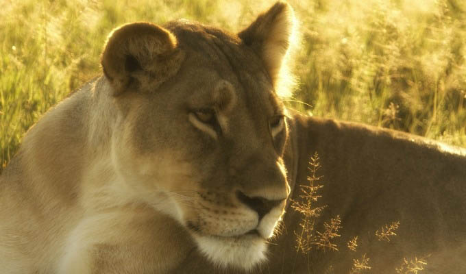 Lioness in Hwange National Park - Zimbabwe
