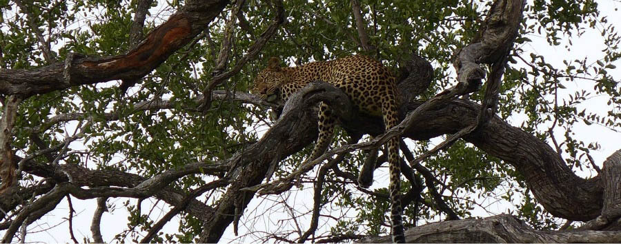Botswana per tutti - Botswana Leopard Sleeping on a Tree...Do Not Disturb!