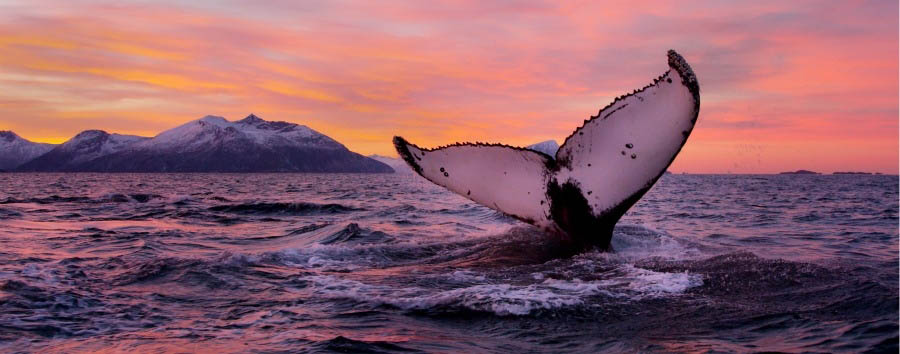 Norway - Tromsø, Humpback Whale © Asgeir Helgestad/Artic Light AS/Visitnorway.com