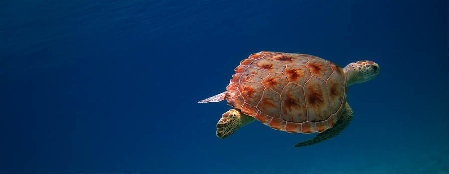 Caraibi: soggiorno a Caneel Bay - Isole Vergini Americane Turtle Under the Sea