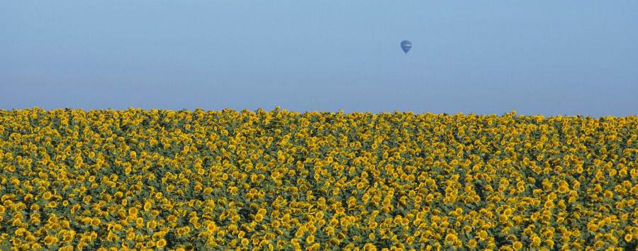 Gems of Israel - Israel Sunflowers Field in Galilee © Itamar Grinberg