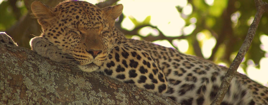 East Africa Migration Discover - Tanzania Serengeti National Park: leopard napping on a tree