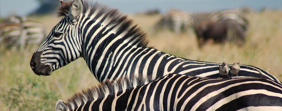 East Africa Migration Discover - Tanzania Zebra in the Manyara National Park