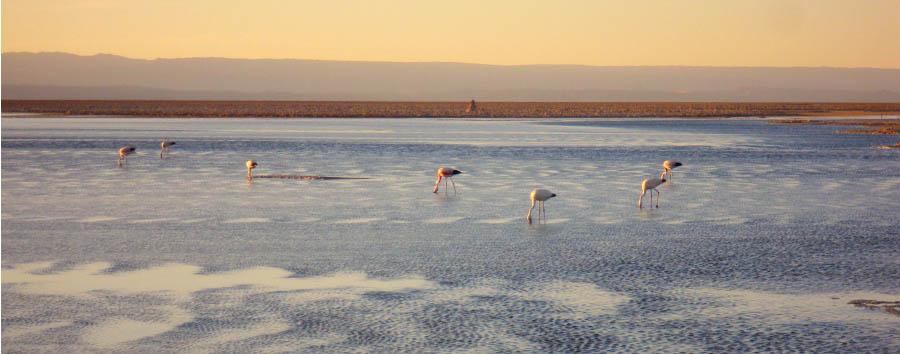 Mosaico cileno: Arica e Putre - Chile Salt Desert and Flamingos