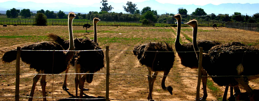 South Africa: The Classic Route 62 - South Africa Ostrich farm