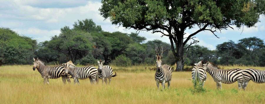 Zimbabwe, triangolo d'acqua - Zimbabwe Zebras in The Hwange National Park
