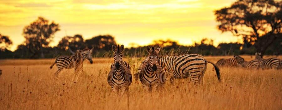 Intimate Zimbabwe - Zimbabwe Zebras at Sunset in The Hwange National Park