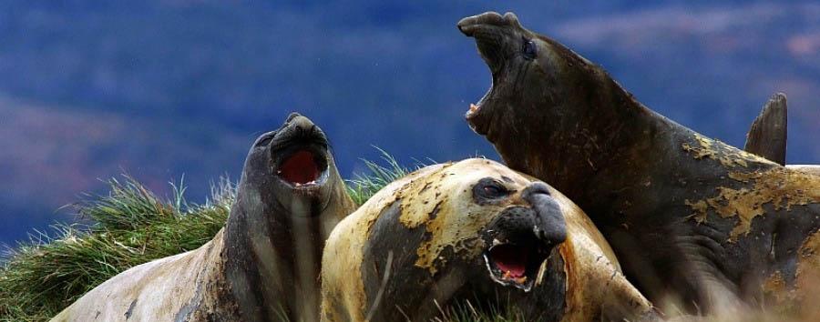 Wildlife of Argentina - Argentina Sea Lions in Peninsula Valdes
