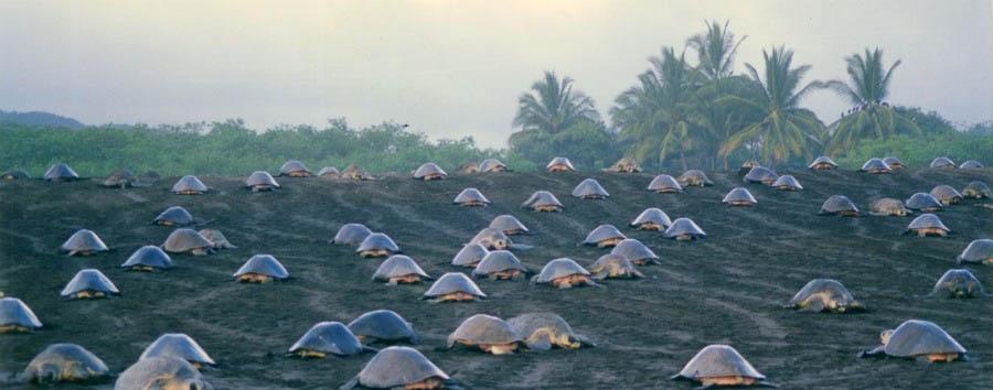 Exploring Costa Rica - Costa Rica Tortuguero National Park, Giant Tortoises