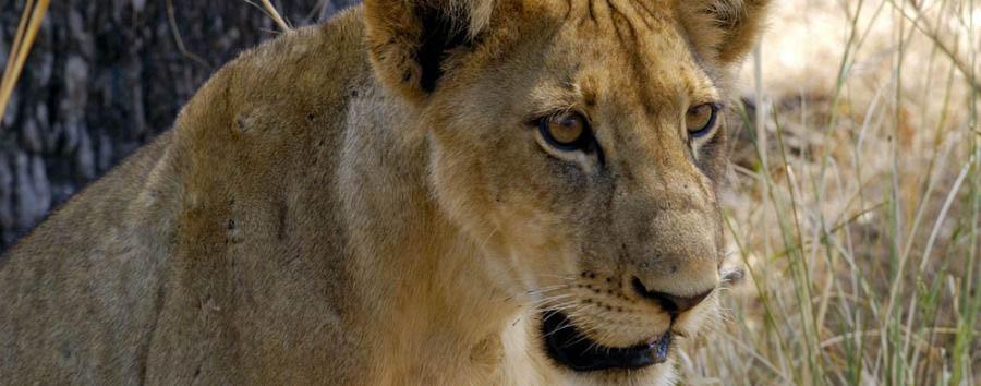 Spirito Africano - Tanzania Lioness in Mikumi National Park