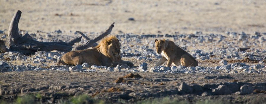 Namibia - Lions in the Etosha National Park