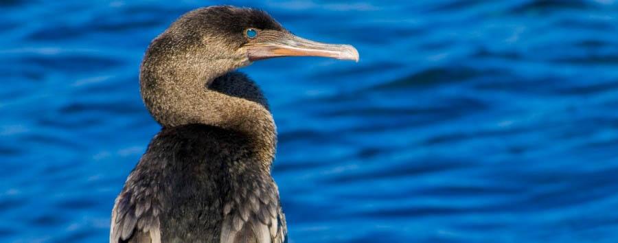 Ecuador: tra Terra, Cielo e Mare - Ecuador Galápagos Islands, Cormorant