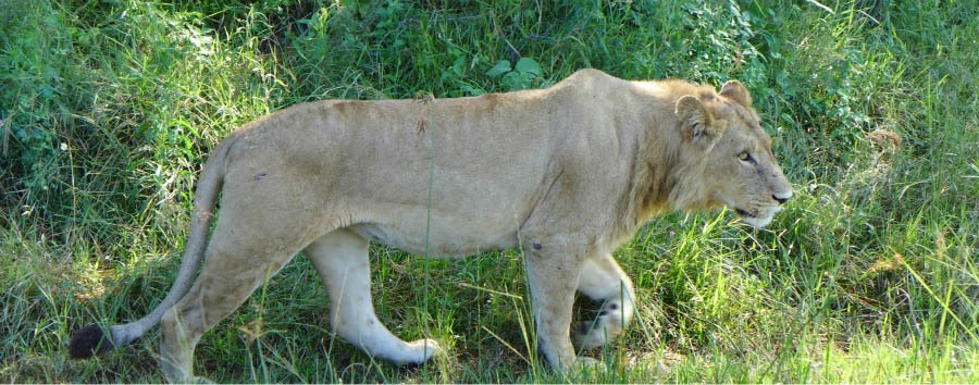 Botswana - Lion in Moremi Game Reserve