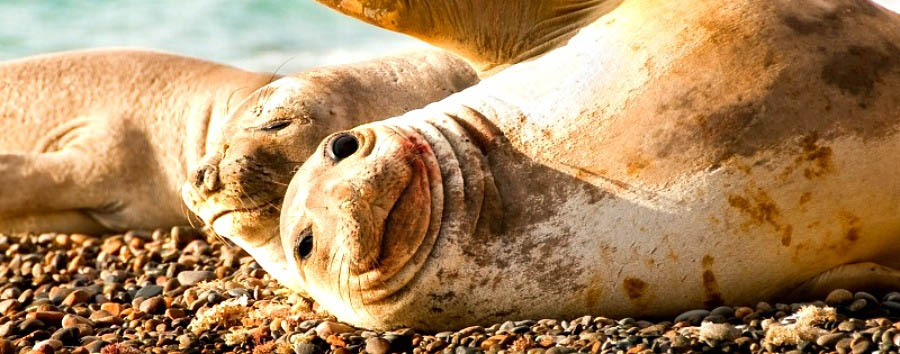 Highlights of Patagonia - Argentina Elephant Seals in Peninsula Valdes