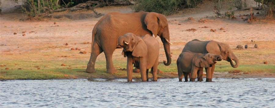 Chobe Safari Lodge - Elephants on the Chobe River Banks