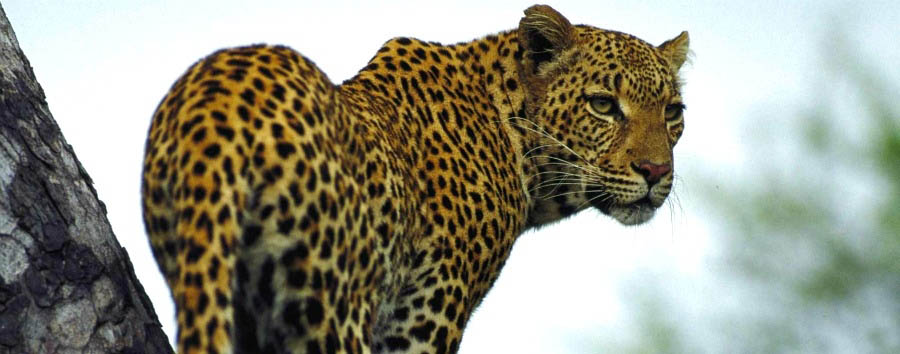 South Africa Luxury Fly-in Safari - South Africa Leopard in Sabi Sand Game Reserve