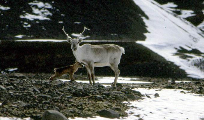 Reindeer near Egilsstadir - Iceland