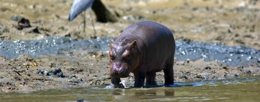 Wonders of Saadani - Tanzania Baby hippo on Wami Riverbank in Saadani National Park