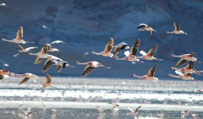 Flamingos in Laguna Brava - Argentina