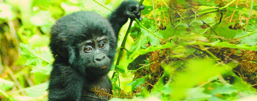 Uganda, perla d'Africa - Uganda Bwindi Impenetrable Forest, baby gorilla