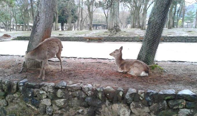 Nara, Deers in Nara Park - Japan