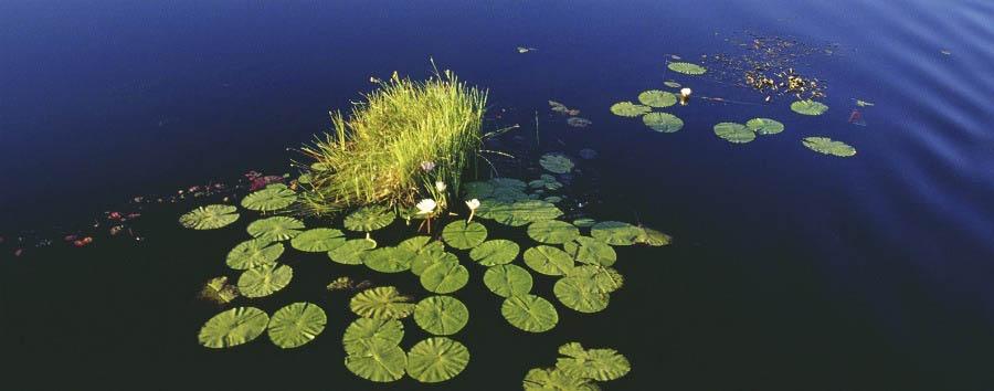Botswana per tutti - Botswana Water Lilies in Okavango Delta