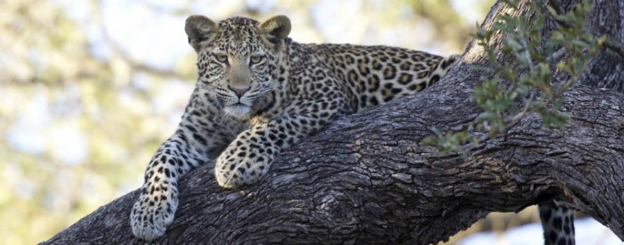 South Africa - Leopard in The Kapama Private Game Reserve