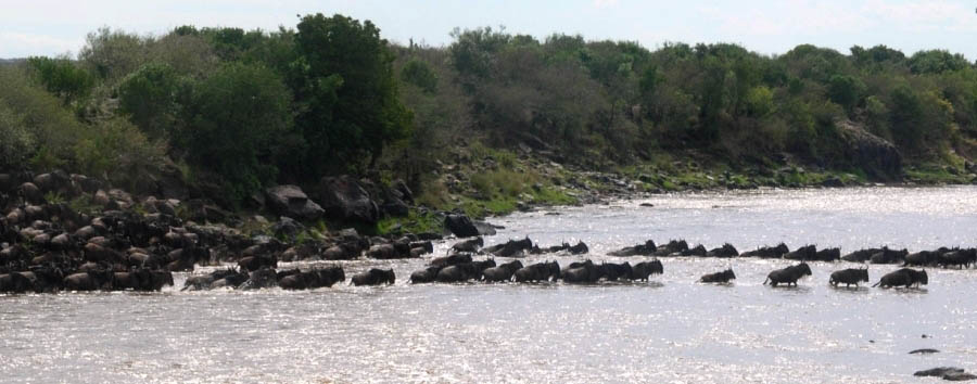 Royal Mara Safari Lodge - Wildebeest crossing Mara River