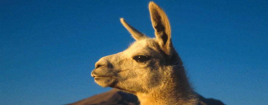 Mosaico cileno: Arica e Putre - Chile Llama