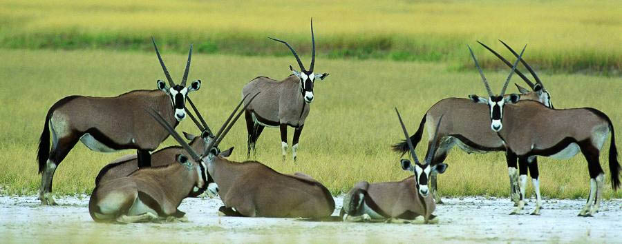 Alluring Namibia - Namibia Etosha National Park, Oryxes at Etosha Pan