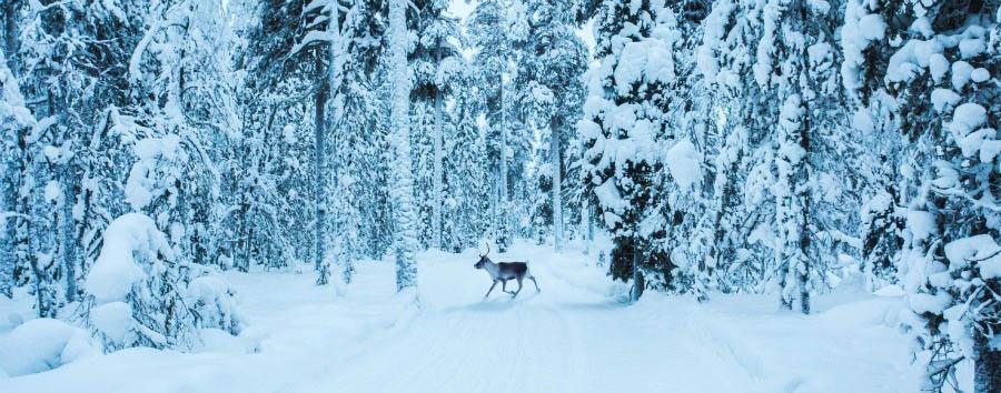 A caccia dell'aurora boreale - Finland Ylläs, Reindeer in The Snowy Forest © Jordan Herschel/Visit Finland