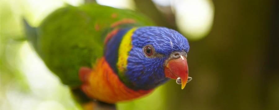 Mosaico australiano: Cairns - Australia Queensland, Kuranda Rainforest Park, Rainbow Lorikeet © Maxime Coquard