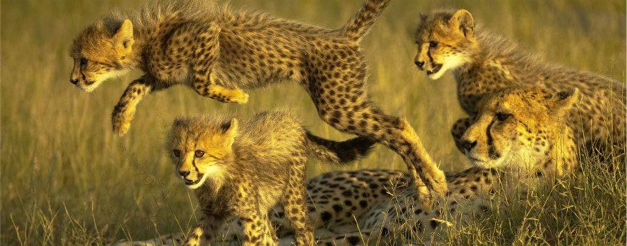 Botswana, acqua e deserto - Botswana Okavango Delta, Cheetah Family