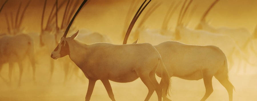 The Unconventional Emirate - Abu Dhabi Sir Bani Yas Island - Arabian Oryx