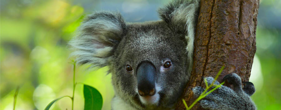 Fantastica Australia - Australia Koala on a Tree with Bush Green Background © Dudarev Mikhail/Shutterstock.com