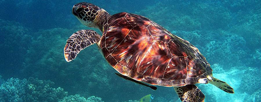 Mare a Bohol - Philippines Bohol, Green Sea Turtle Underwater