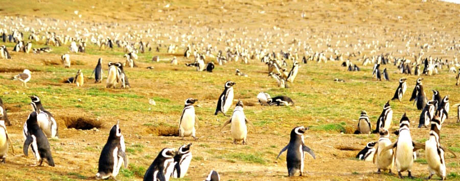 Wildlife of Argentina - Argentina Magellan Penguins in Punta Tombo Natural Reserve