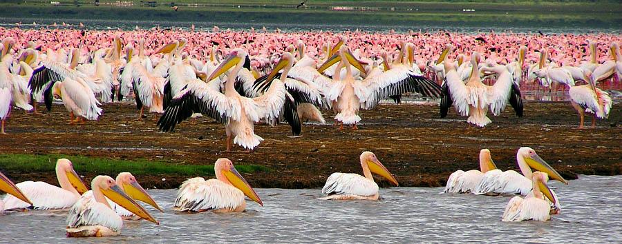 Kenya a 360° - Kenya Flamingos give Lake Nakuru a pink hue