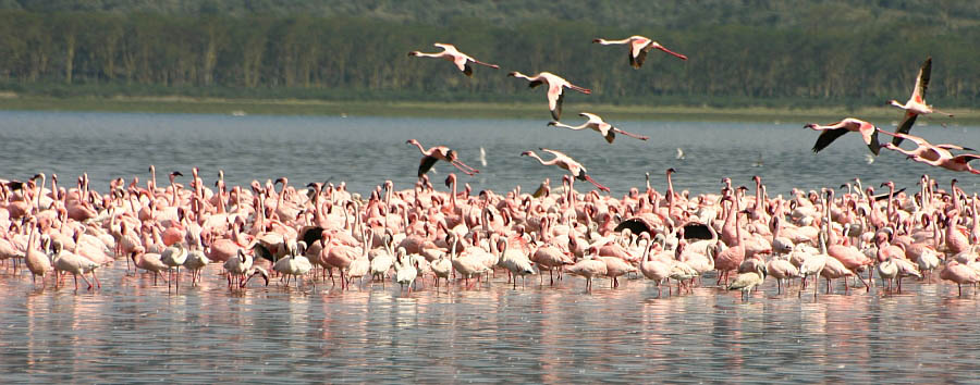 Kenya Highlights - Kenya Flamingos in Lake Nakuru