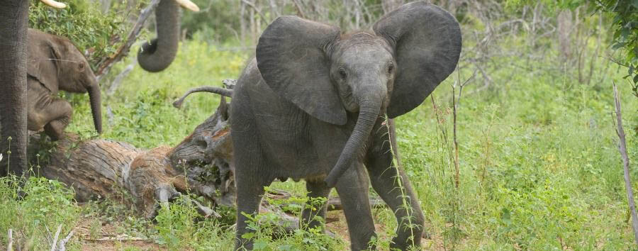 Highlights of Botswana - Botswana Sanctuary Chobe Chilwero, Baby Elephant in The Chobe National Park