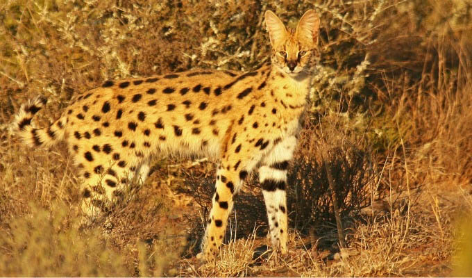 Serval in The Kwandwe Private Game Reserve - South Africa