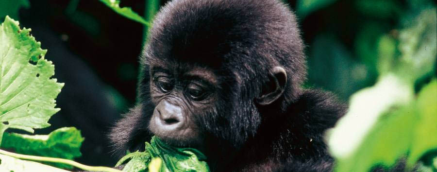 The undiscovered pearl of Africa - Uganda Bwindi Impenetrable Forest National Park, Baby Gorilla