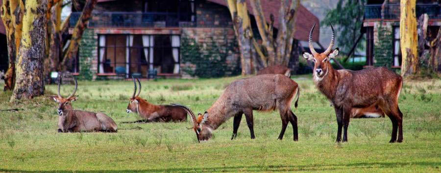 Lake Naivasha Sopa Resort - Waterbucks
