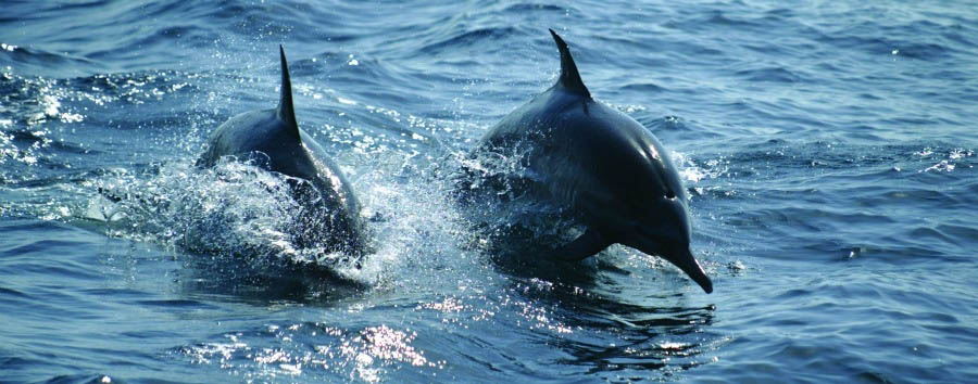 Classic Oman & Masirah - Oman Masirah Island, Dolphins